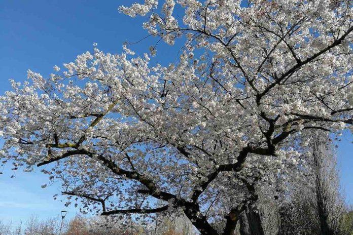 Giappone albero di ciliegio in fiore di giorno
