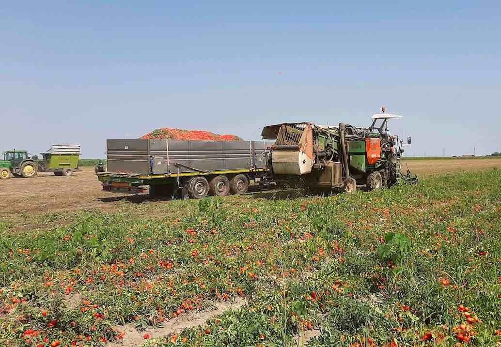 Pomodoro, la raccolta a Lagosanto (Fe)