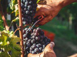 Prodotti made in Italy, agricoltore italiano mentre lavoro su un grappolo