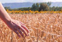 Un campo di frumento