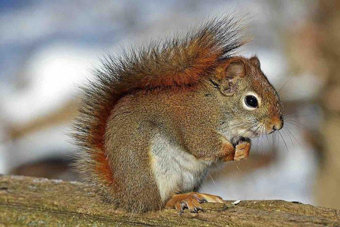 Piatti proibiti, lo scoiattolo rosso