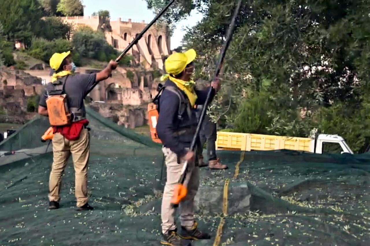 Raccolta delle olive al Colosseo
