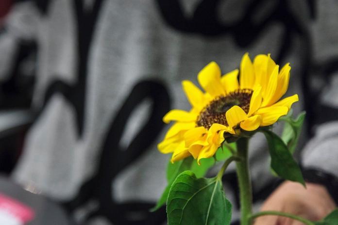 Fondazione endometriosi, girasole simbolo della lotta alla malattia